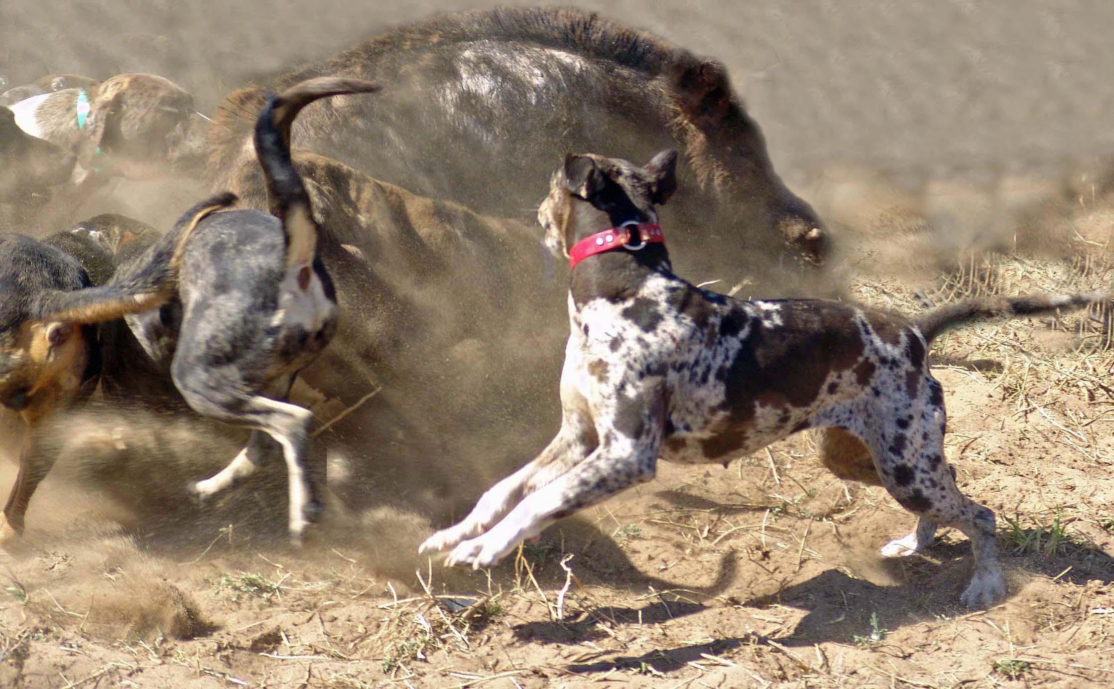 Catahoulas hog hunting