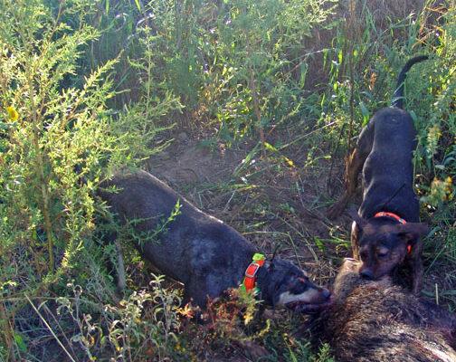 Rancho Santiago Catahoulas Hunting