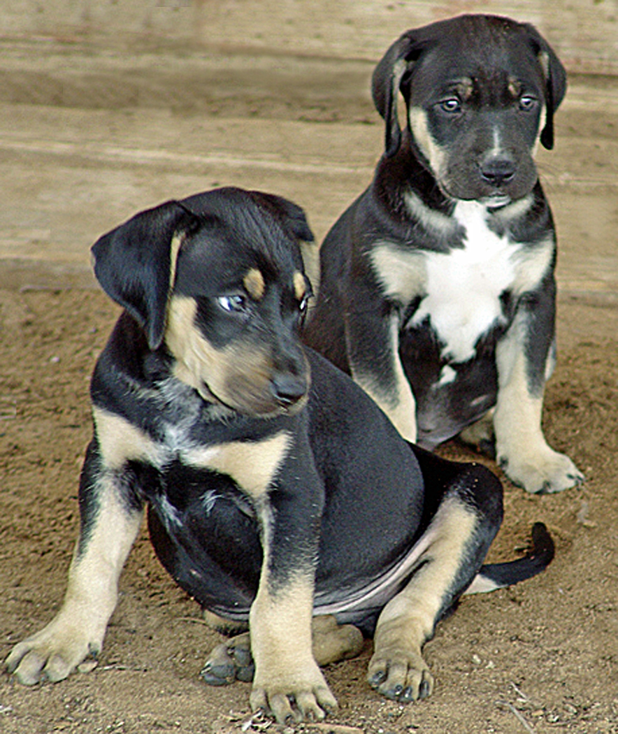 Care of Your New Catahoula Puppy