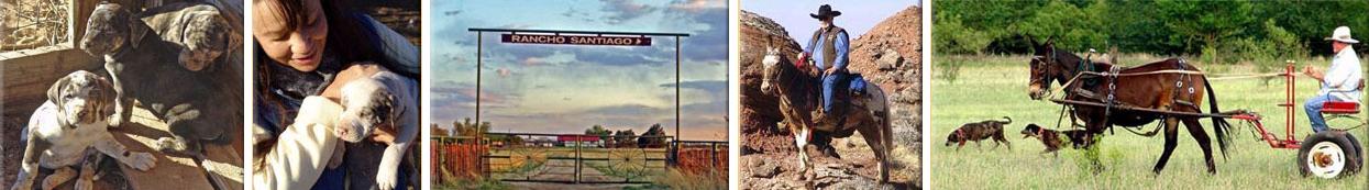 Rancho Santiago - Catahoula Dogs