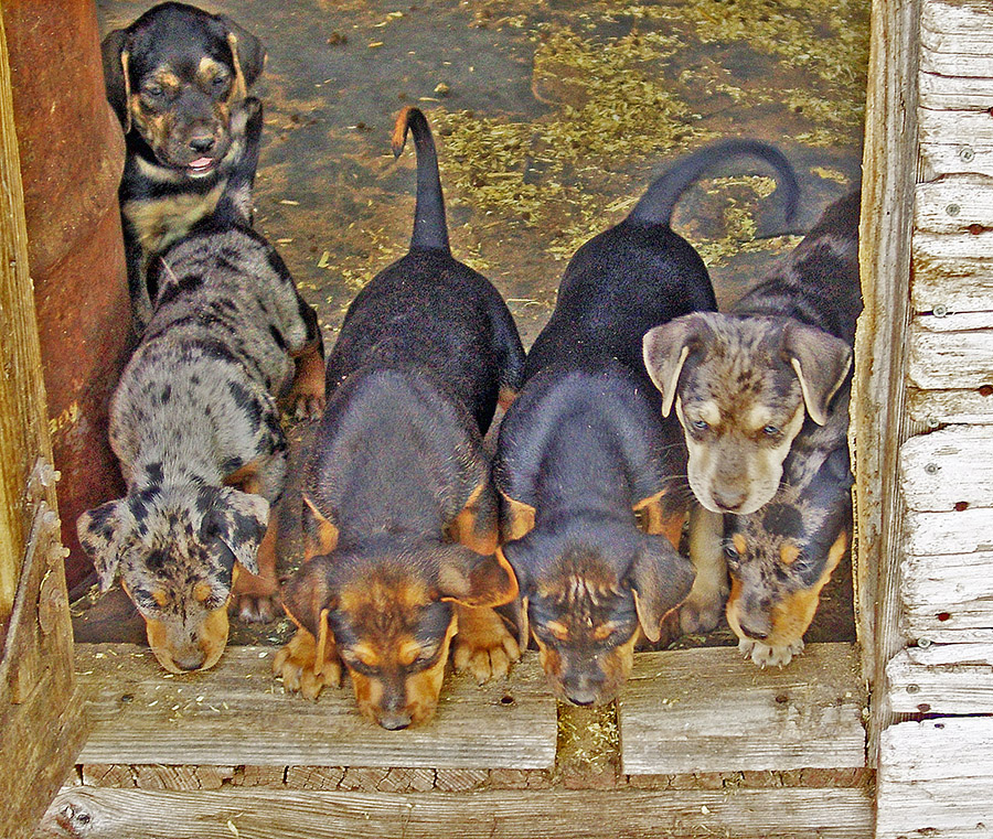 How to Pay For Your Rancho Santiago Catahoula