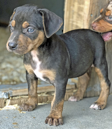 How to Reserve Your Rancho Santiago Catahoula Pup